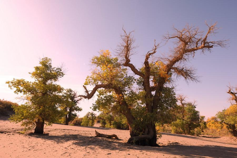 金色秋天,是额济纳胡杨树魅力尽展的最美季节,一夜寒露骤然把整片的