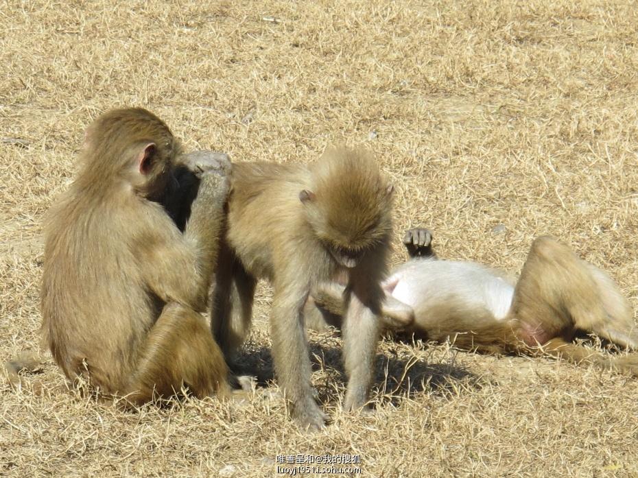 可以翘尾巴,其他任何猴子不允许翘尾巴。其他猴子 ...