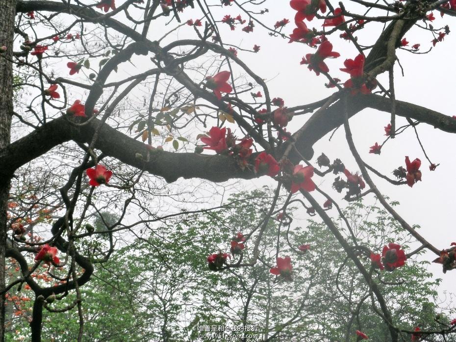 木棉树叫做英雄树还有一个故事:1927年