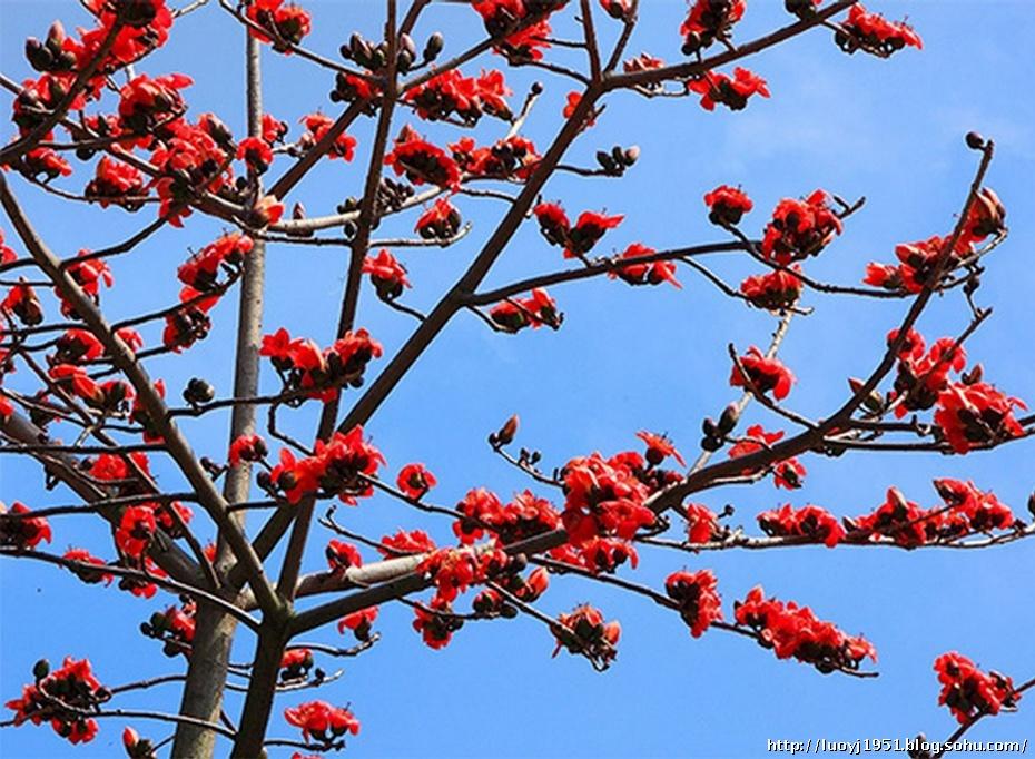 木棉花曾多次被定为广州市花