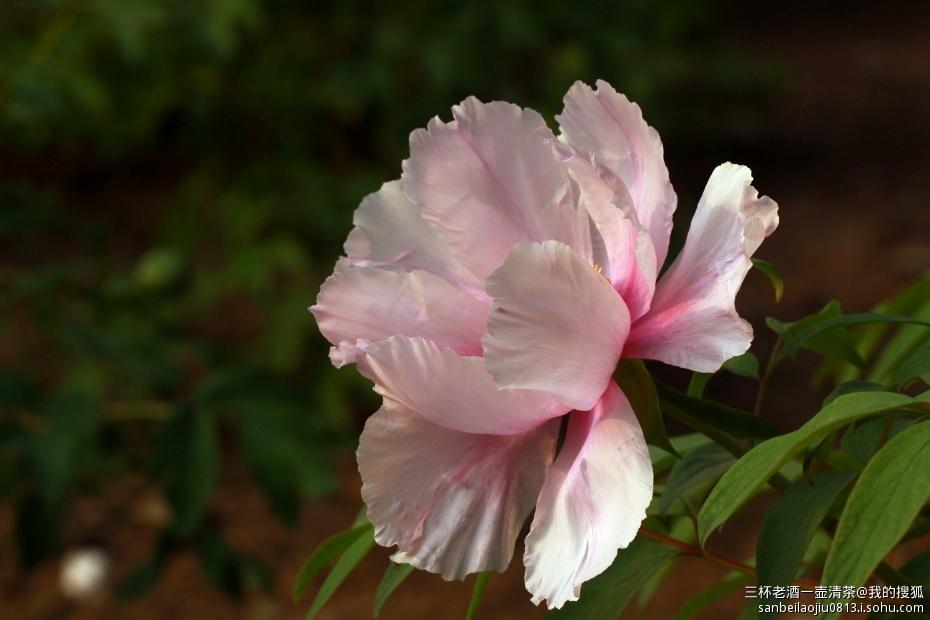 五月的鲜花之 国色天香