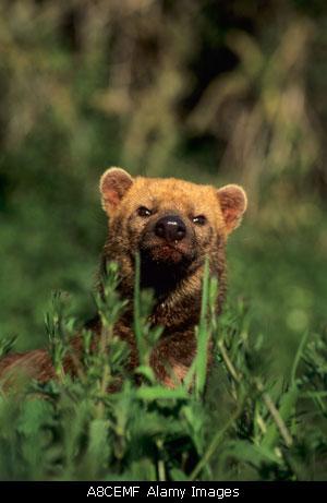 南美薮犬---唯一一种脚掌有蹼的犬科动物