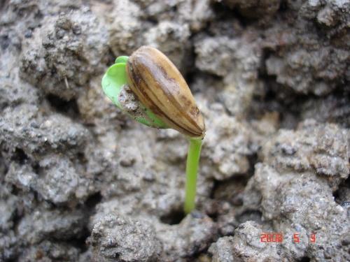 绿茄子的生长过程 37 胡萝卜的生长过程 3