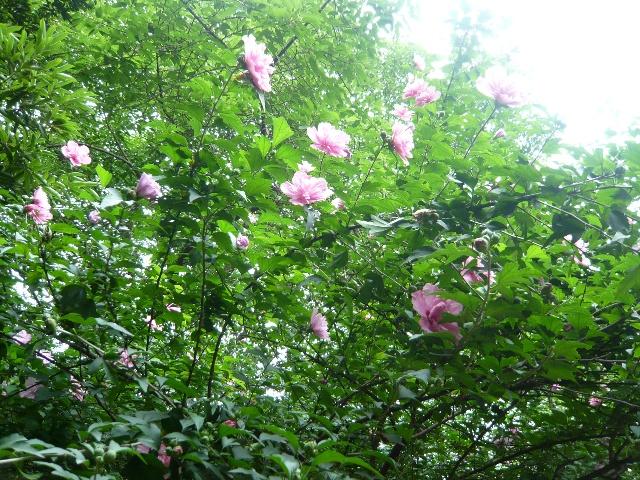 一篱疏疏木槿花