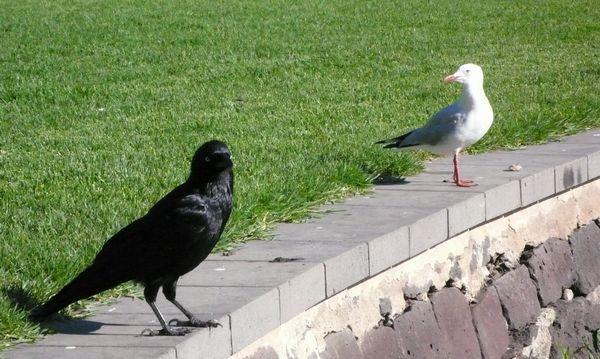 在袋鼠岛的野生动物园里我们看到一家五口关在围栏里的黑天鹅,挺可怜