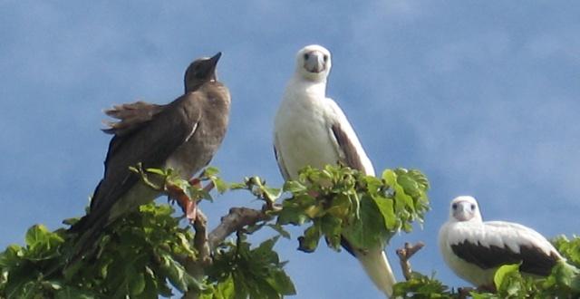 鲣鸟是濒危珍稀物种,为国家珍稀保护动物