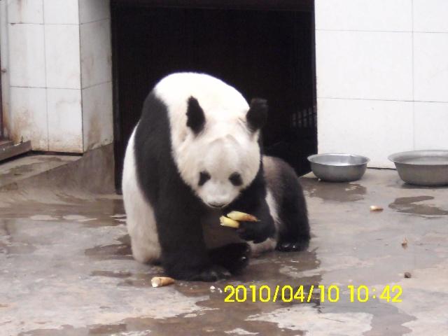 壁纸 大熊猫 动物 狗 狗狗 640_480