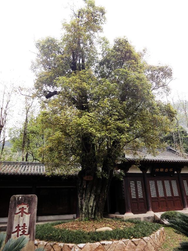 两棵宋朝时期的桂花树,是我迄今为止看到过的最古老的桂树.