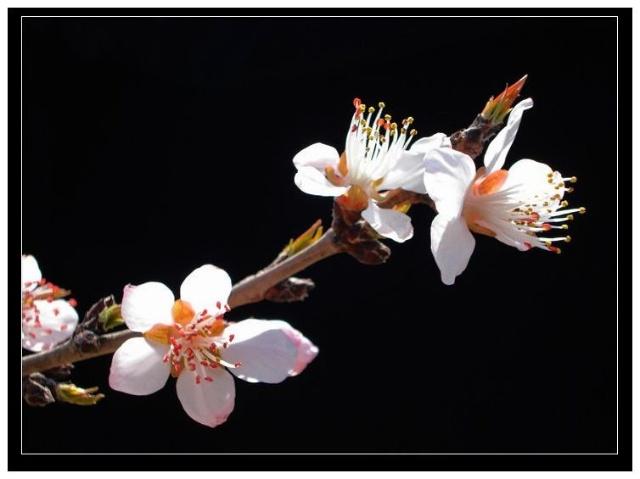 黑底背景花卉摄影作品欣赏