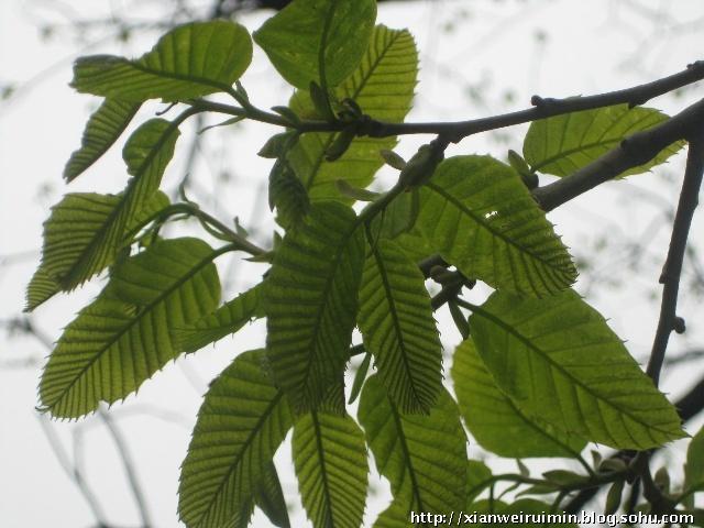 金仙观周围有很多的毛栗子树,给个栗子树叶的特写