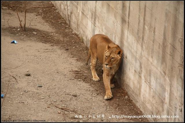 在内的多种大型猫科动物