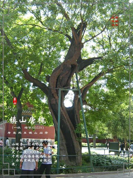槐树彩色简笔画