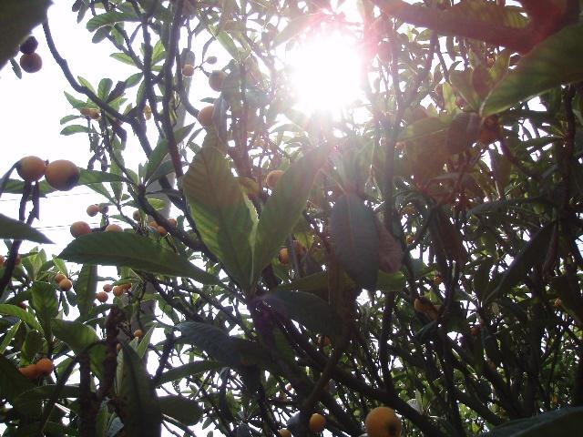 枇杷与大部分果树不同,在秋天或初冬开花,果子在春天至初夏成孰,比