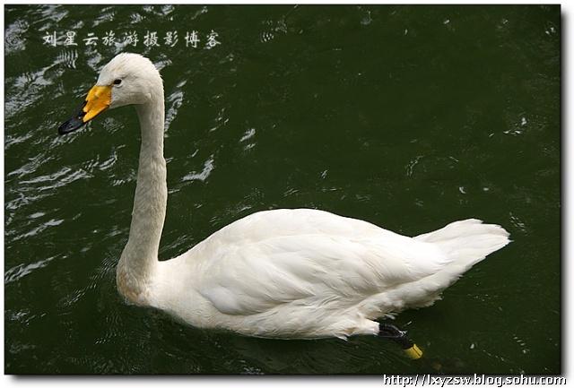 天鹅文化   保护级别:国家二级保护动物