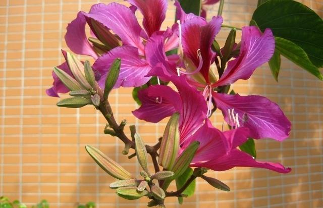 花瓣5枚鲜紫红色,间以白色脉状彩纹,中间花瓣较大,其余4瓣两侧对成