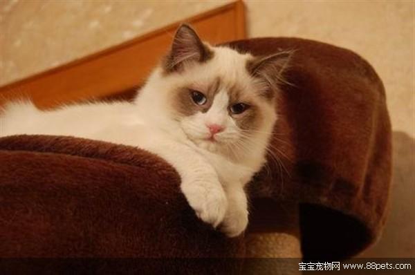 宝宝宠物网养猫 :布偶猫体型大,友善可爱,聪明温顺的长毛猫,它有一双