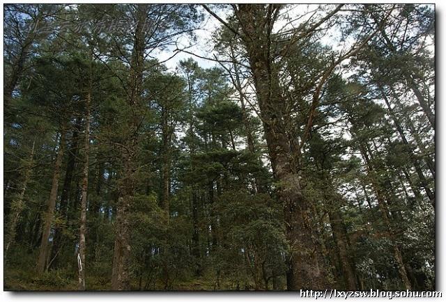 道旁茂密的杉树林,古木参天,萋草丰美,野花缤纷,百龄以上的大树比比