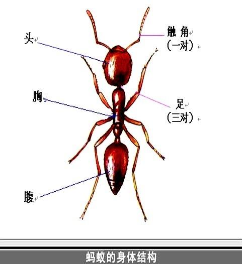 身体部位壁纸_昆虫的身体分头,胸,腹三部分,头部有1对触角,胸部有