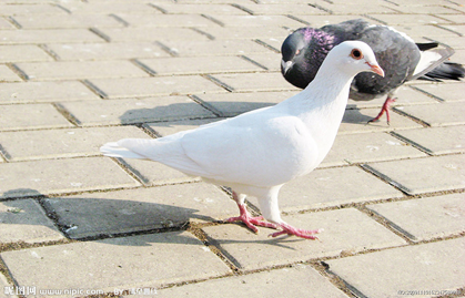 粮食鸽鸟类鸟鸽子419_269子出小鸽壳几天喂动物图片
