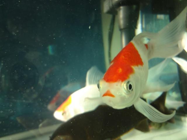 红嘴唇金鱼图片