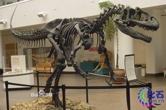 异特龙的骨架和其它兽脚亚目恐龙一般