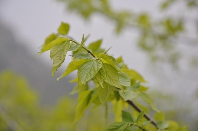 青檀树上那嫩绿嫩绿的叶子