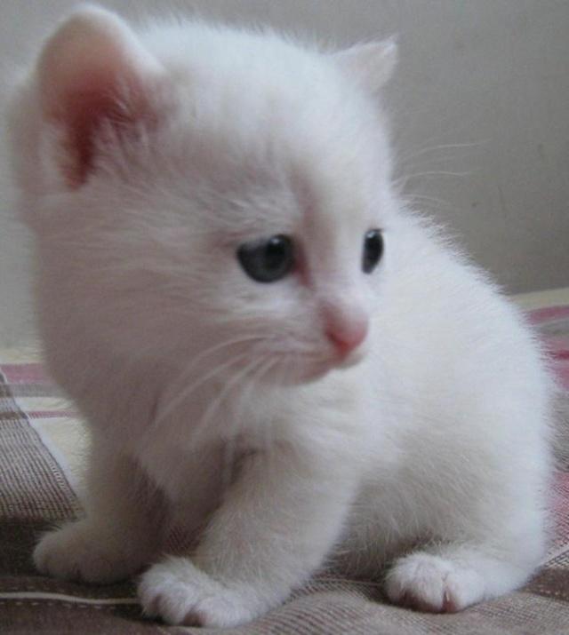 白猫王子五岁   五年前的一个夜晚,菁清从门外檐下抱进一只小白猫,时蒙雨凄其,春寒尚厉。猫进到屋里,仓皇四顾,我们先飨以一盘牛奶,他舔而食之。我们揩干了他身上的雨水,他便呼呼的倒头大睡。此后他渐渐肥胖起来,菁清又不时把他刷洗得白白净净,戏称白猫王子。    他究竟生在哪一天,没人知道,我们姑且以他来我家的那一天定为他的生日(三月三十日),今天他五岁整,普通猫的寿命据说是十五六岁,人的寿命则七十就是古稀之年了,现在大概平均七十。所以猫的一岁在比例上可折合人的五岁。白猫王子五岁相当于人的二十五岁,正是青春旺盛